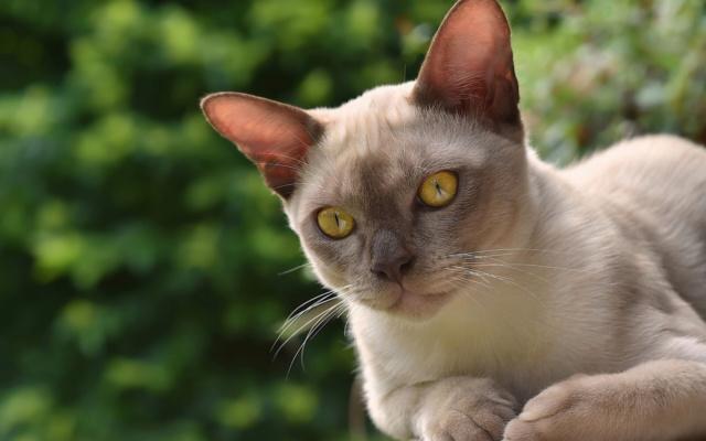 Кошки (Cats) - Страница 7 Burma_10