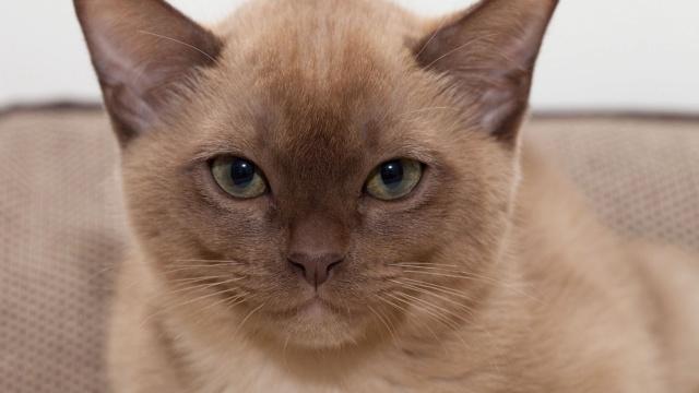 Кошки (Cats) - Страница 7 Burma_11