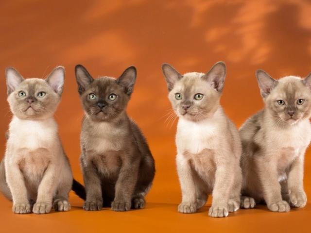 Кошки (Cats) - Страница 7 Burma_12