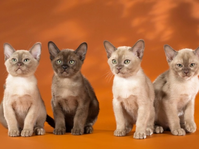 Кошки (Cats) - Page 7 Burma_12