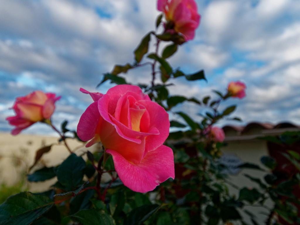 Dernières roses. P1022011