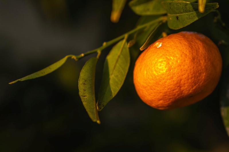 Dernière mandarine, première fleur... P1150712