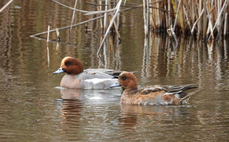 Fórum Aves - Birdwatching em Portugal - Portal 25311