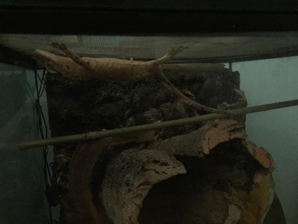 Floppy tail gecko à crete ? 2be19b10