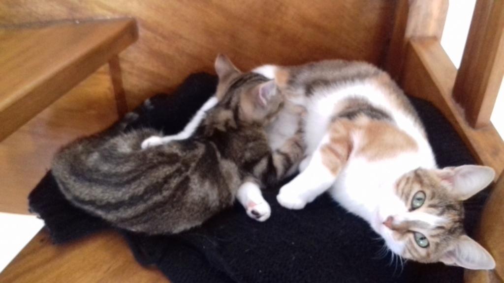 Ombre, chaton de type européen tigrée, née le 18/08/2018 15417510