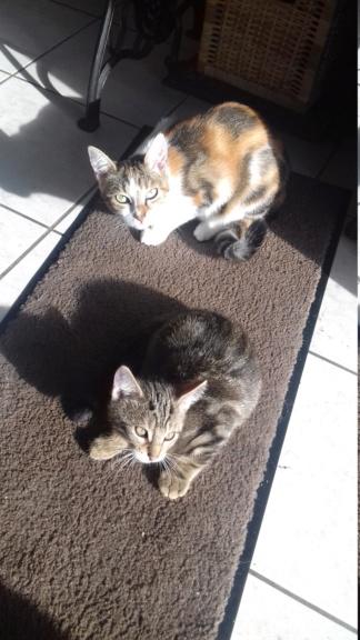 Ombre, chaton de type européen tigrée, née le 18/08/2018 20181114