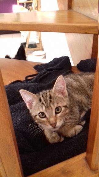 Ombre, chaton de type européen tigrée, née le 18/08/2018 20181116