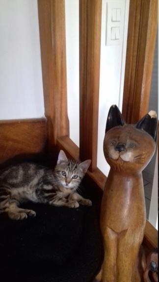 Ombre, chaton de type européen tigrée, née le 18/08/2018 20181117