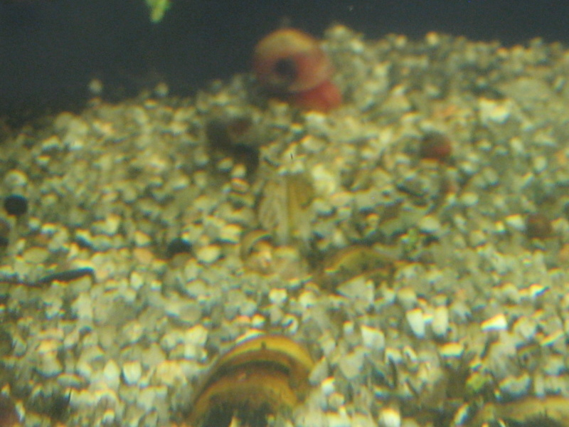 Où peut-on trouver des Moule de rivière pour aquarium ? Img_1023