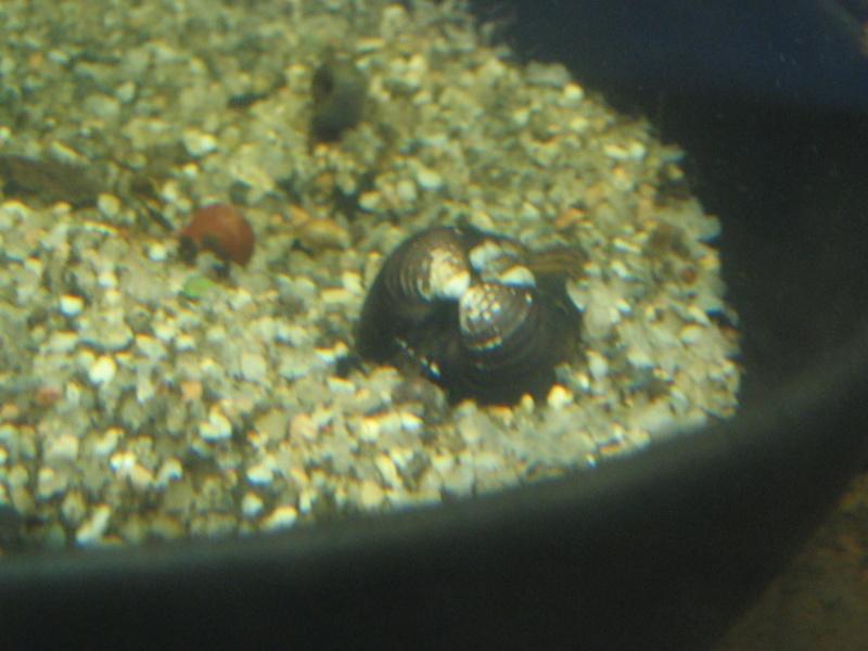 Où peut-on trouver des Moule de rivière pour aquarium ? Img_1024
