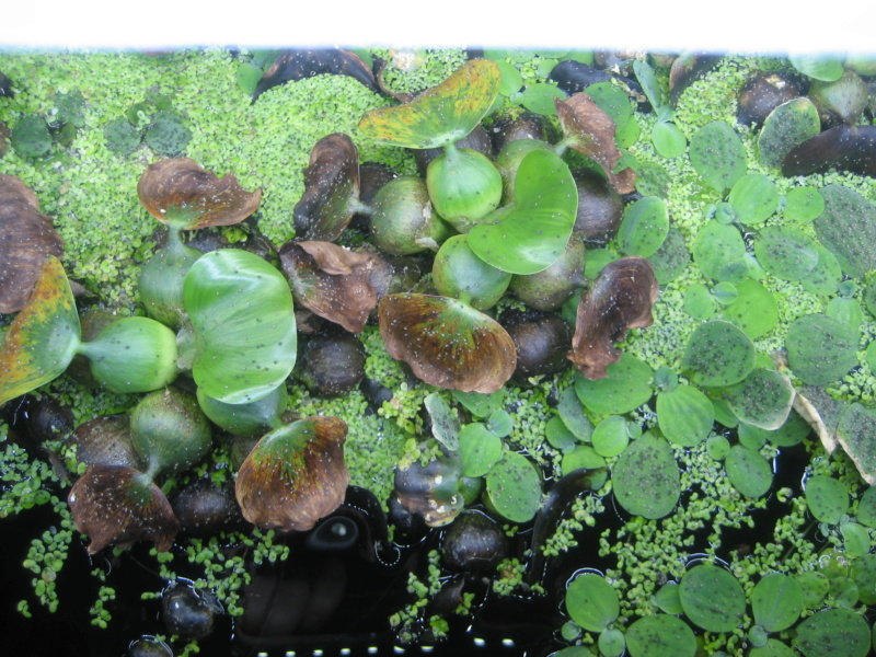 Où peut-on trouver des Moule de rivière pour aquarium ? Img_1027