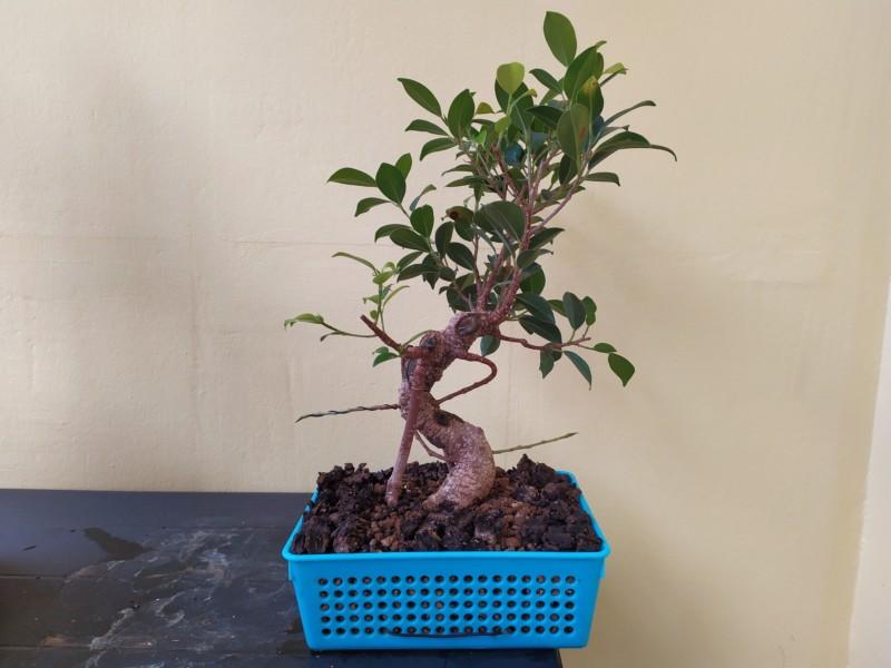 Frenar crecimiento de ramas ficus 20190820