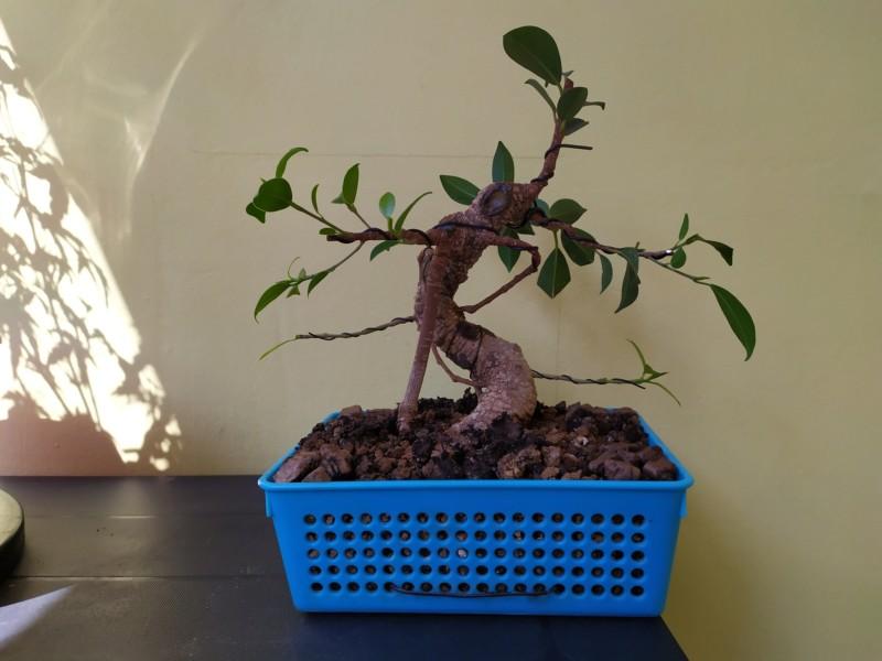 Frenar crecimiento de ramas ficus 20190821