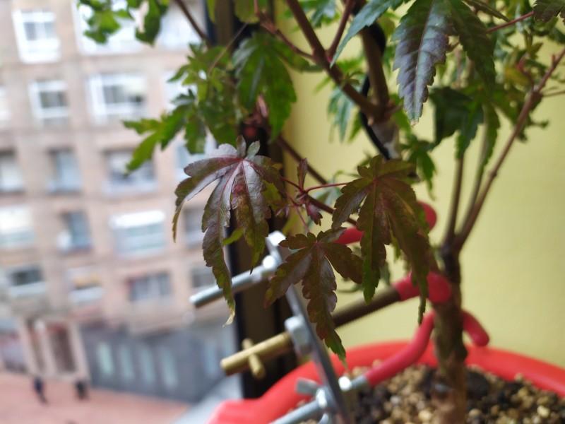 Hojas violetas en Arce palmatum 20191111