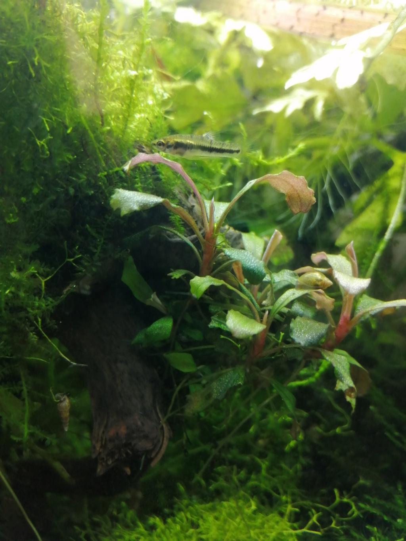 [fiche] Heterandria Formosa Img_2120