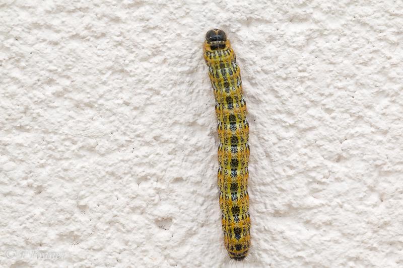Identification chenille [Phalera bucephala) (Bucéphale) 20211015