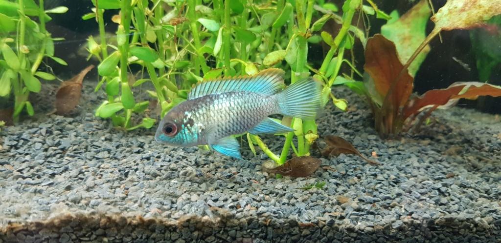 Acara bleu electrique male ou femelle 20190911