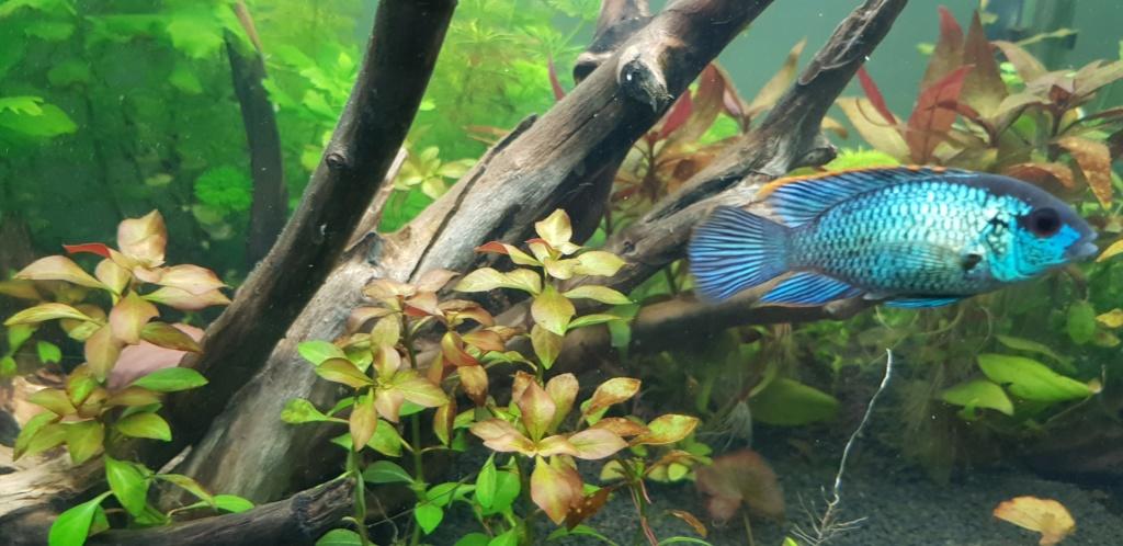 Acara bleu electrique male ou femelle 20190913