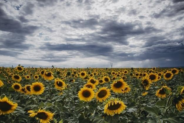 SONGFIC Sunflower. Respuesta A Un reto De Guerra Sunflo10