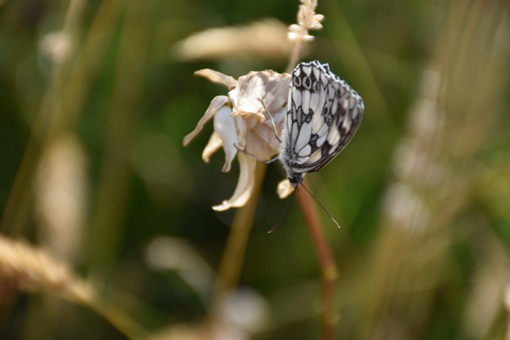 identification papillon Dsc_1612