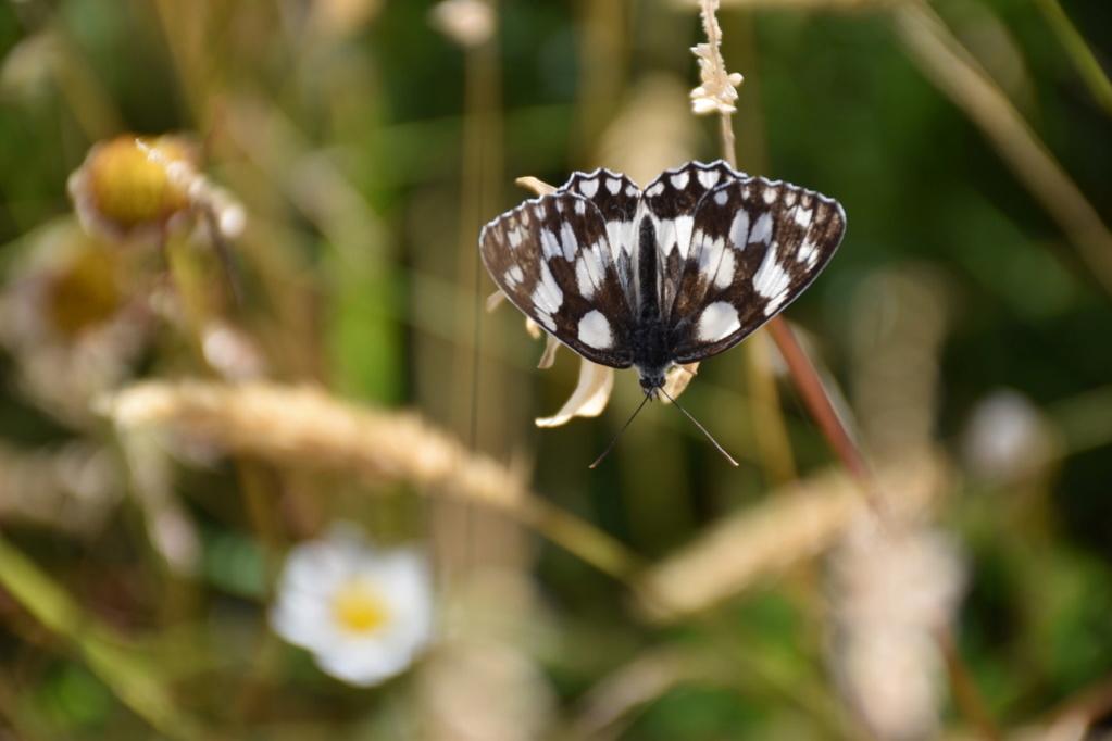 identification papillon Dsc_1613