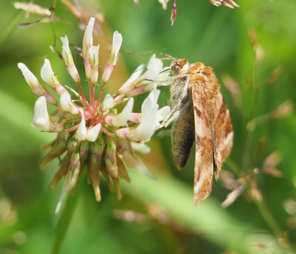 identification papillon Img_1210