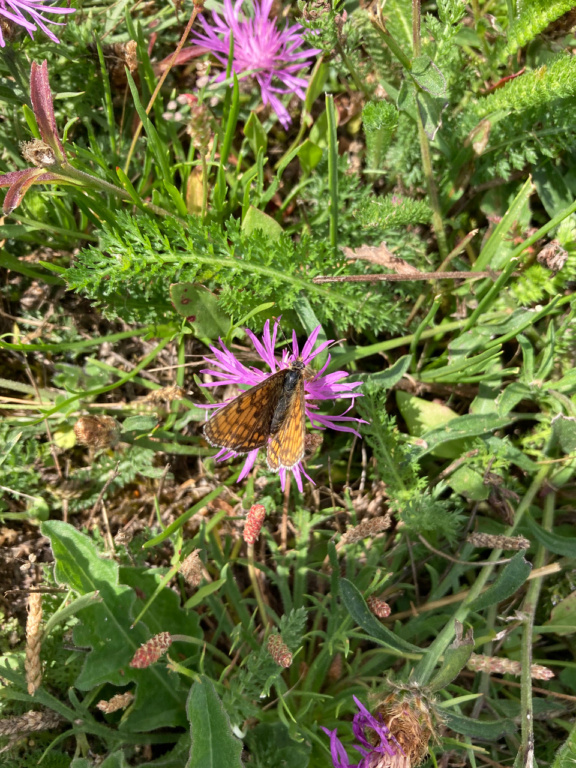 identification papillon Img_1616