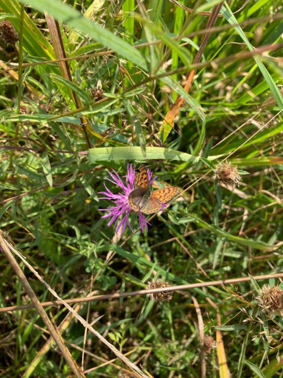 identification papillon Img_1711