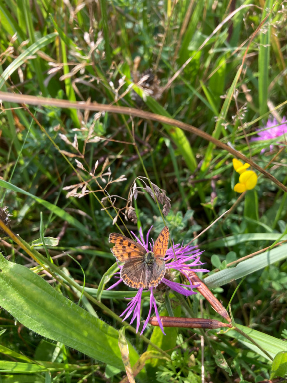 identification papillon Img_1713