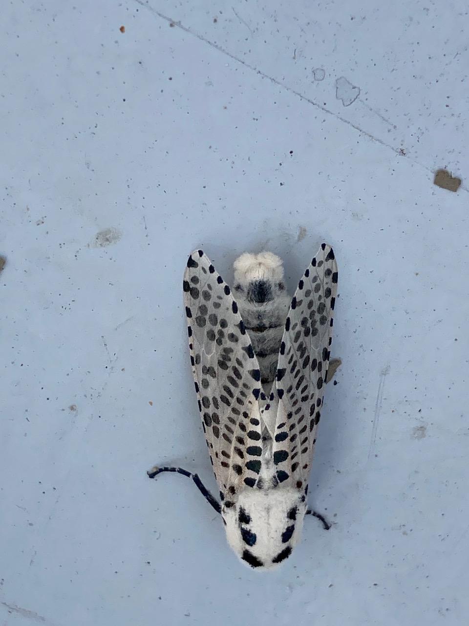 papillonn inconnu Img_8511