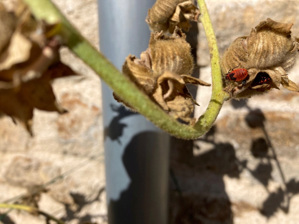[Pyrrhocoris apterus] identification punaise Img_9611
