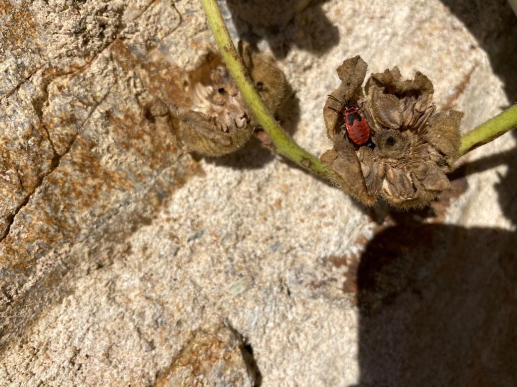 [Pyrrhocoris apterus] identification punaise Img_9613