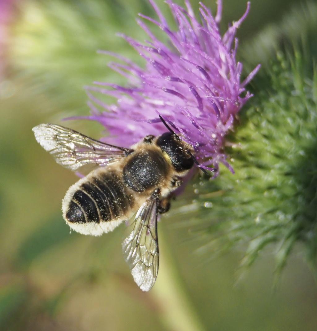 abeille malade?  P8160010