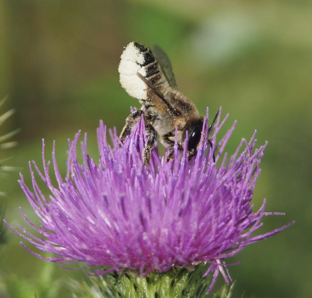 abeille malade?  P8160012