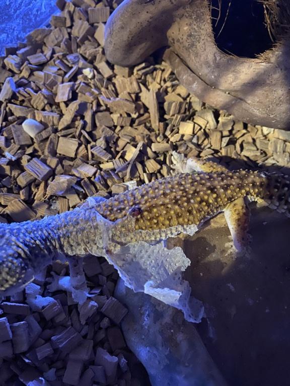 Gecko leopard probleme blessure  1ae92910