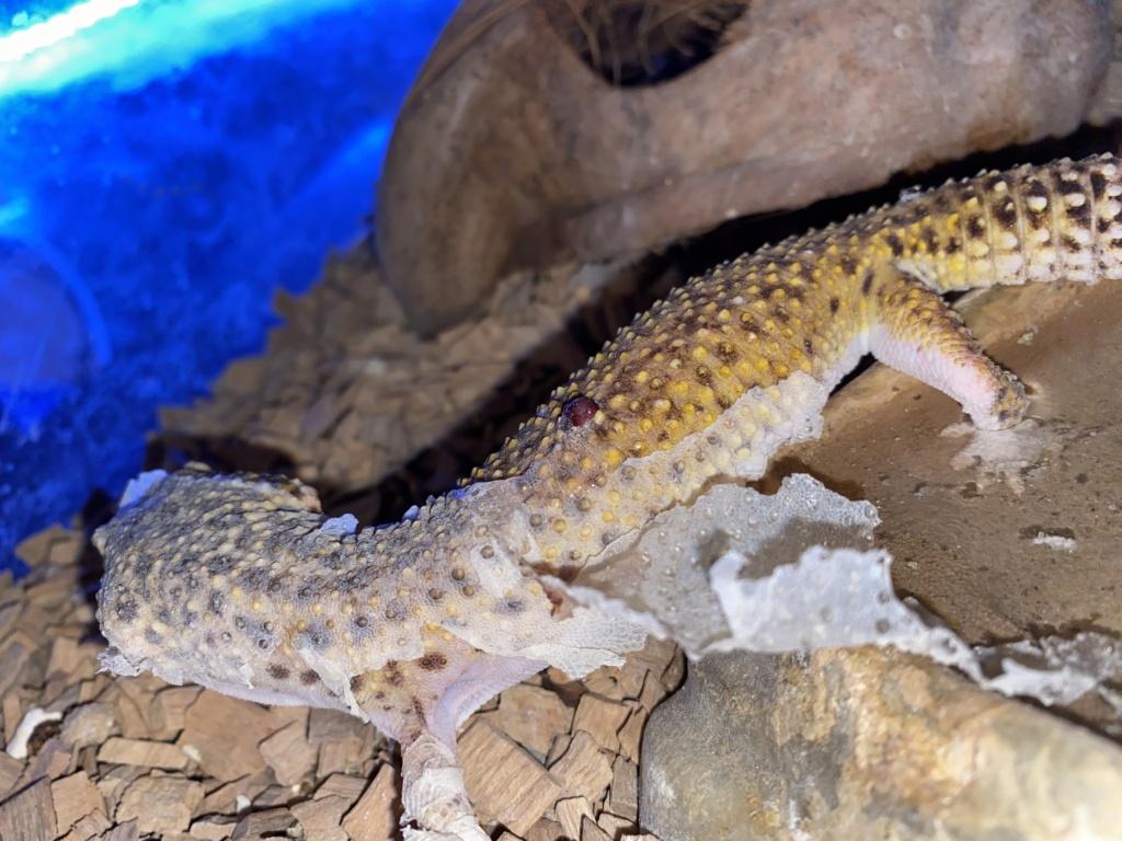 Gecko leopard probleme blessure  Ed927d10