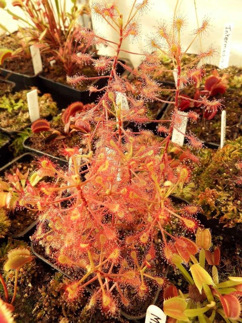 Drosera madagascariensis Madaga10