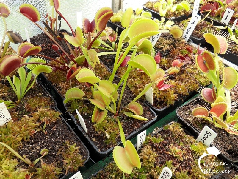 Dionaea 'Microdent erected' Microd16
