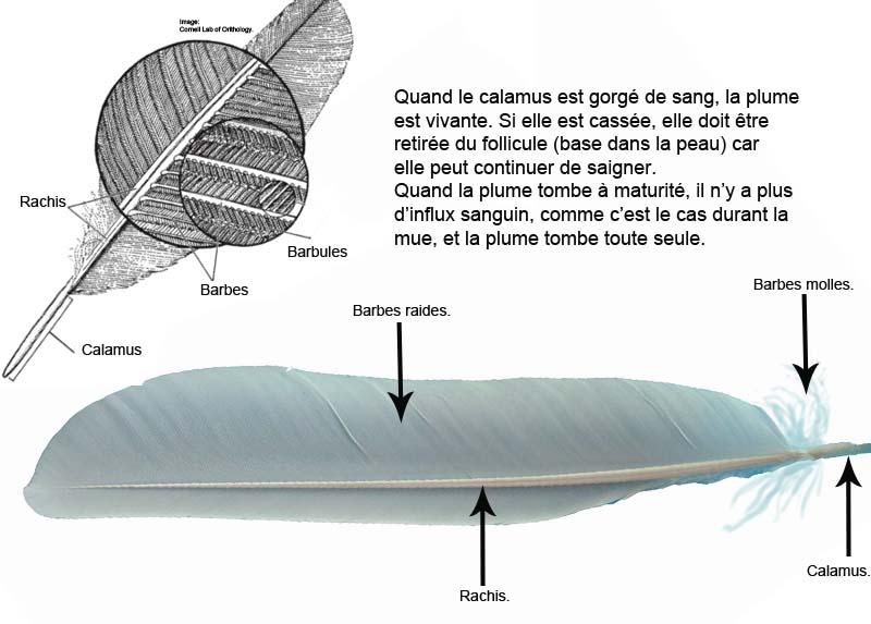 Anatomie de la plume et de l'aile. Anatom10