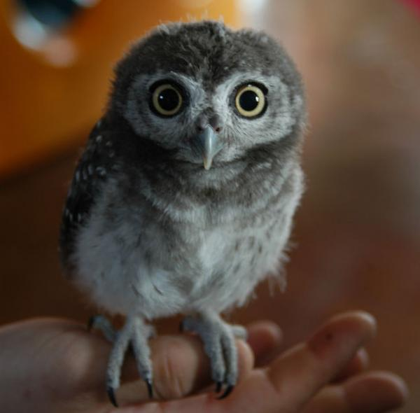 La nuit ? Owl8jp10