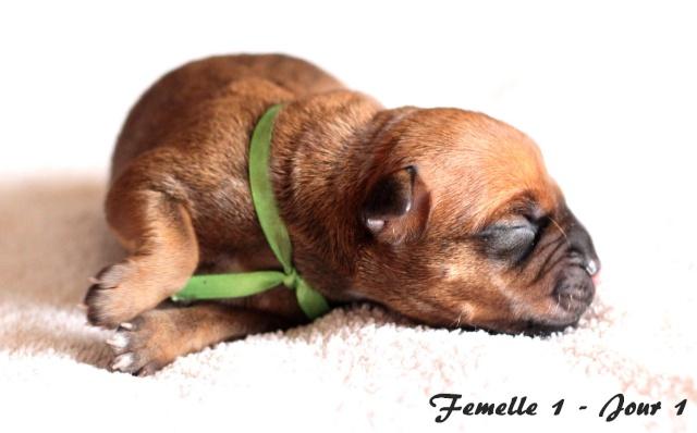 "Chiots Staffordshire Bull Terrier LOF ""Des Anges de Wilhelm"" - 2014 Femell10"