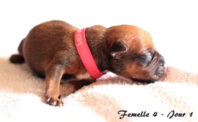 "Chiots Staffordshire Bull Terrier LOF ""Des Anges de Wilhelm"" - 2014 Femell13"