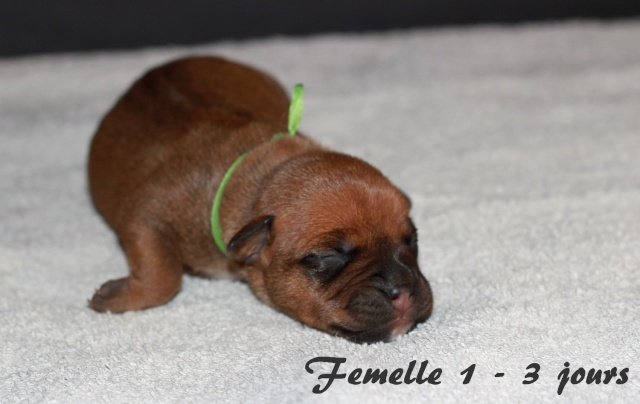 """Chiots Staffordshire Bull Terrier LOF """"Des Anges de Wilhelm"""" - 2014 - Page 2 Femell15"""