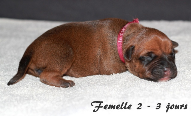 """Chiots Staffordshire Bull Terrier LOF """"Des Anges de Wilhelm"""" - 2014 - Page 2 Femell16"""