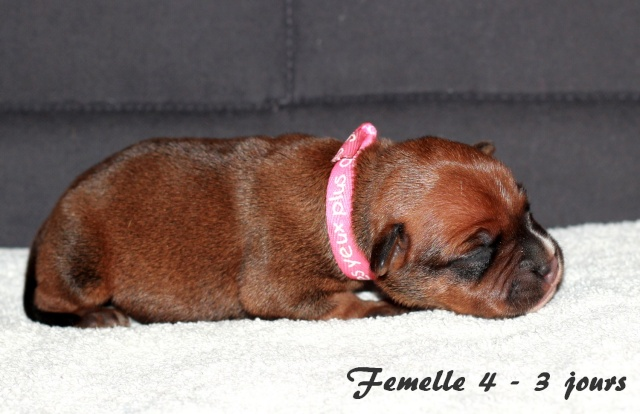 """Chiots Staffordshire Bull Terrier LOF """"Des Anges de Wilhelm"""" - 2014 - Page 2 Femell18"""