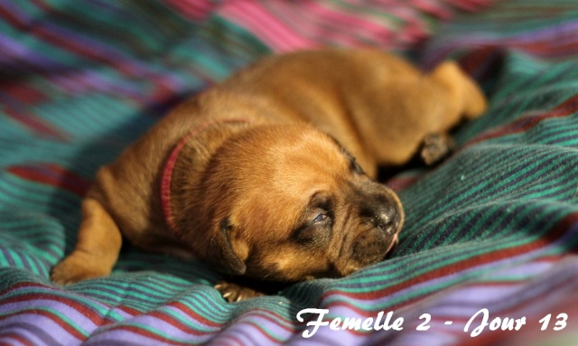"""Chiots Staffordshire Bull Terrier LOF """"Des Anges de Wilhelm"""" - 2014 - Page 2 Femell21"""