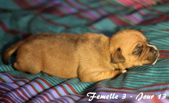 """Chiots Staffordshire Bull Terrier LOF """"Des Anges de Wilhelm"""" - 2014 - Page 2 Femell22"""