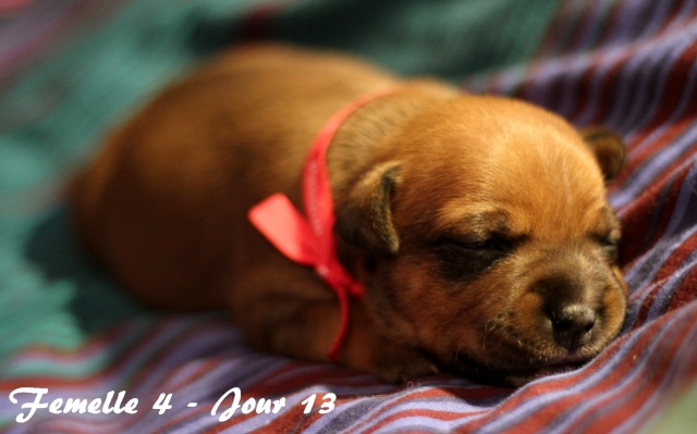 """Chiots Staffordshire Bull Terrier LOF """"Des Anges de Wilhelm"""" - 2014 - Page 2 Femell23"""