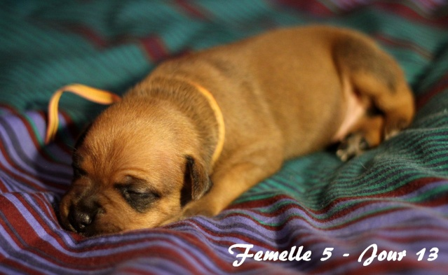 """Chiots Staffordshire Bull Terrier LOF """"Des Anges de Wilhelm"""" - 2014 - Page 2 Femell24"""