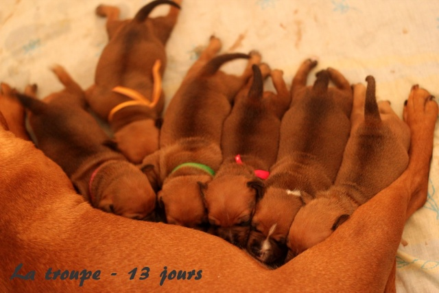 """Chiots Staffordshire Bull Terrier LOF """"Des Anges de Wilhelm"""" - 2014 - Page 2 La_tro10"""